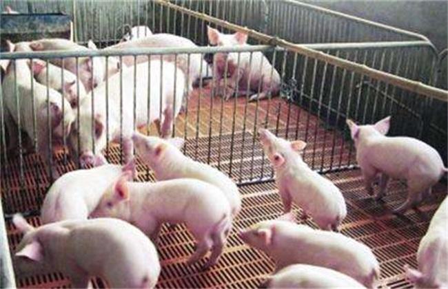 养猪创业必须要考虑的问题
