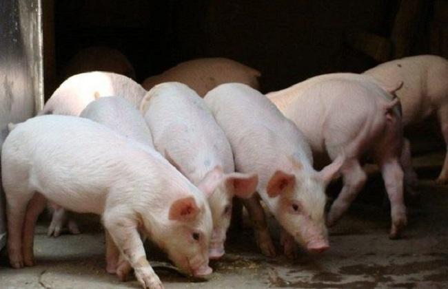 养猪过程中存在的问题