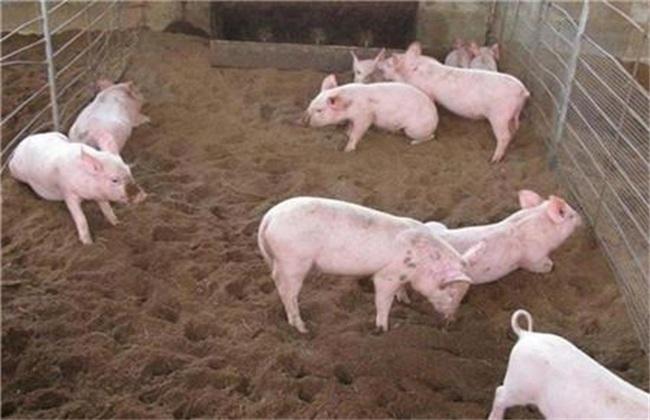 春季 养猪 注意事项
