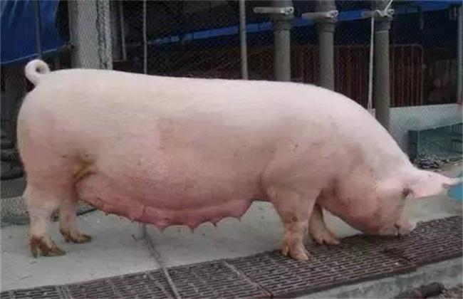 妊娠母猪不吃怎么办