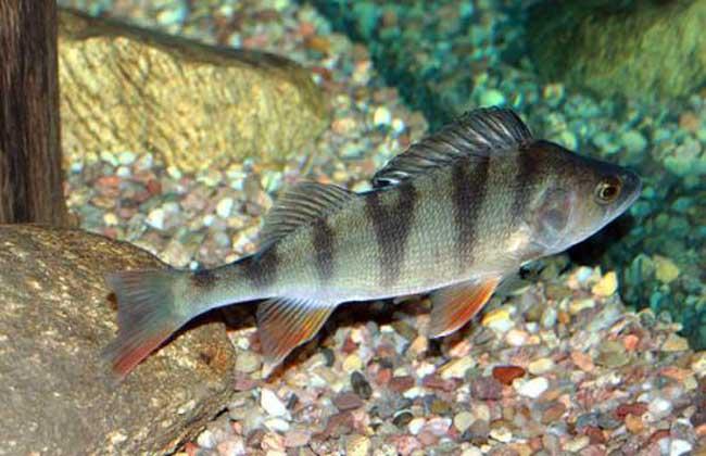 淡水鲈鱼养殖技术