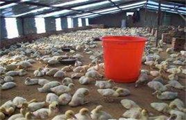 雏鸭对饲养环境条件的要求