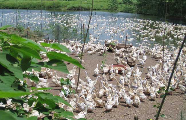 如何提高肉鸭养殖的成活率