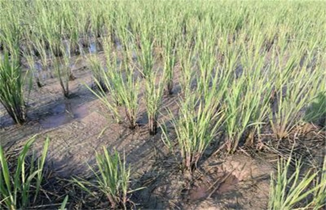 水稻僵苗的原因及解决方法