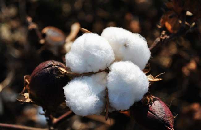 高产棉花品种有哪些?