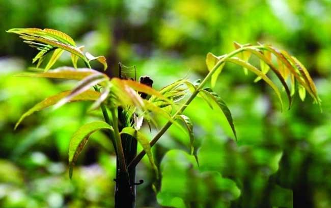香椿栽培技术