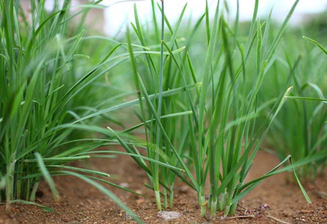 葱蒜韭菜类蔬菜种植的虫害防治技术