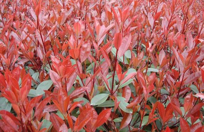 红叶石楠病虫害防治技术