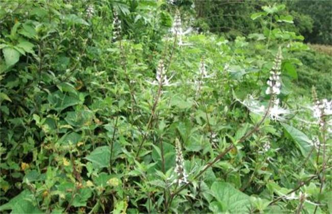 虎刺梅的养殖方法和注意事项图片