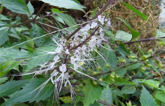 巴西木的养殖方法和注意事项图片