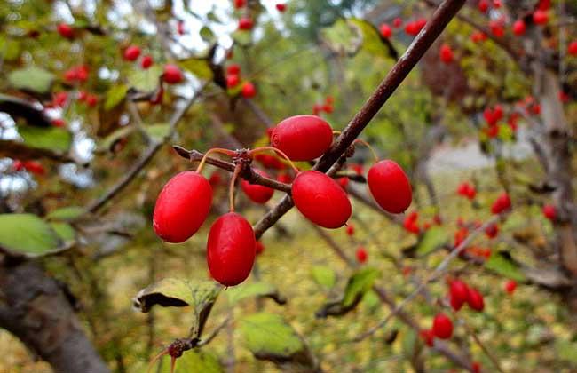 山茱萸种子价格