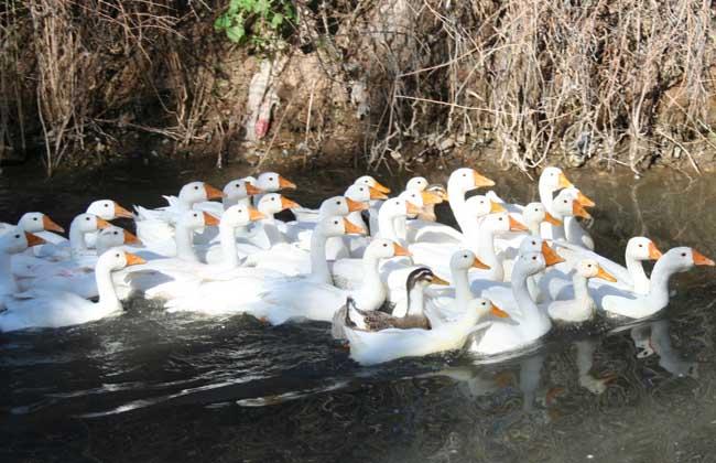 蛋鸭养殖过程中需要注意那些