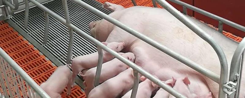 猪场生产成本由哪些构成?猪场ped是什么意思