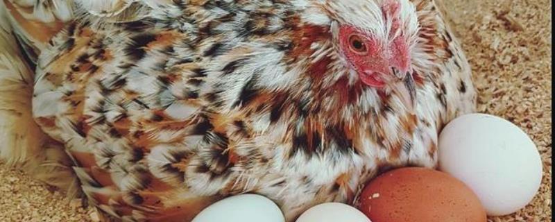 温水孵小鸡方法,孵小鸡要多少天