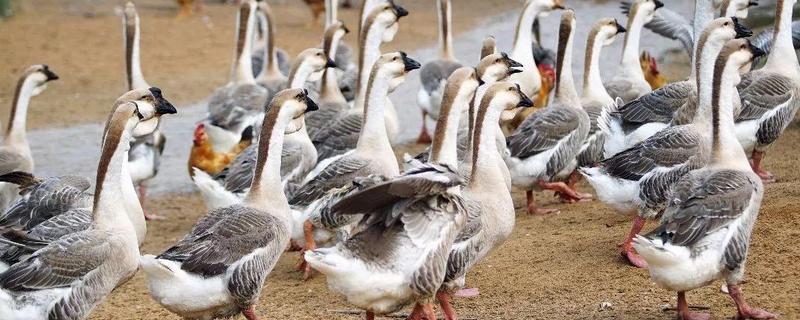 鹅吃什么长得快又肥,公鹅和母鹅的区别